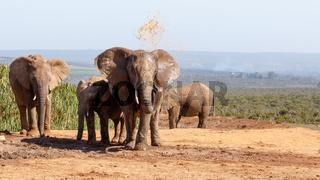 African Bush Elephant having a mud bath