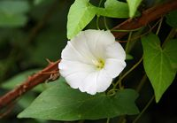 Blume - Schlingpflanze