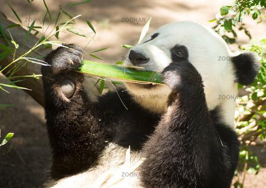 Endangered Animal Wildlife Giant Panda Eating Bamboo Stalk