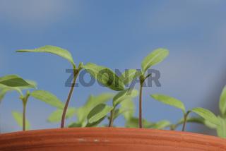Solanum lycopersicum, Tomate, tomato