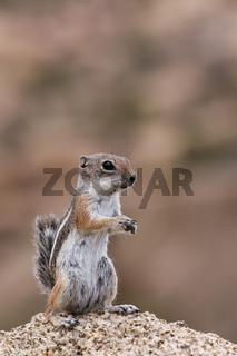Streifenhörnchen 9