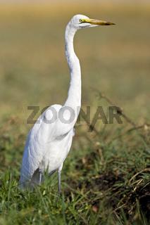 Silberreiher (Casmerodius albus), Chobe National Park, Botswana, Afrika, Great Egret, Africa