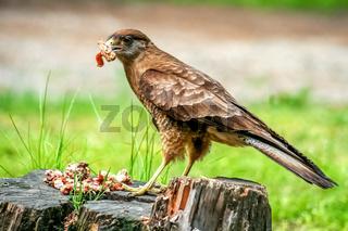 Patagonian Hawk feasting on leftovers