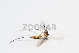 Tote Stechmücke dead mosquito