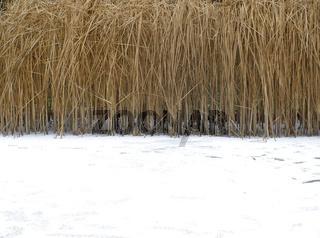 Schilfrohr im Winter
