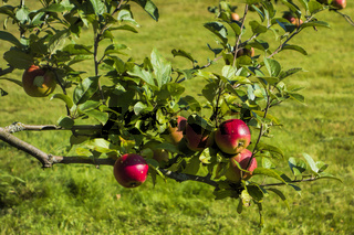 Apfelbaum