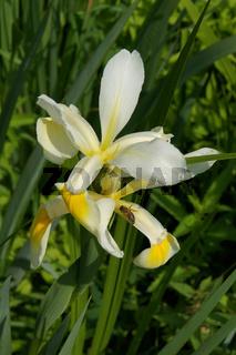 Iris ochroleuca, Schmetterlings Iris