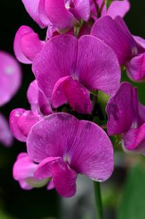 Wicke, Garten-Wicke, Lathyrus odoratus,