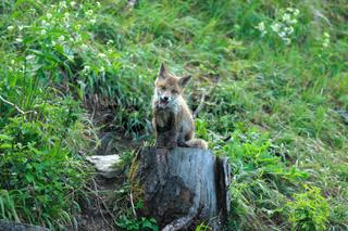 Junger Fuchs auf Baumstamm