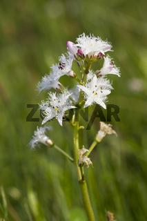 Fieberklee, Menyanthes trifoliata, buckbean