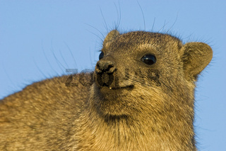Klippschliefer, Klippdachs (Procavia capensis), Augrabies Falls National Park, Suedafrika, Afrika, Cape Hyrax, Rock Hyrax, Rock dassie, South Africa