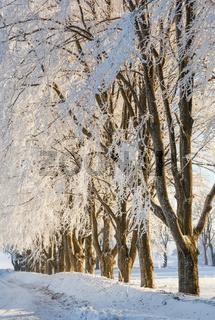 Treelined Beech trees