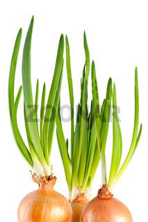 Growing onion