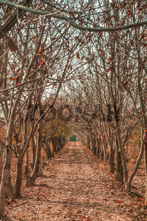 Orchard in winter in Iran