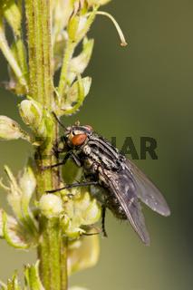 Fleischfliege (Sarcophaga oder Sarcophagidae) auf einer Pflanze, Flesh-fly on a plant