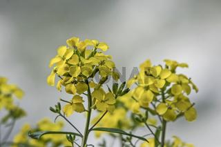 Gelbe Rapsblüte