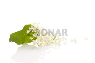 Elderberry flower blossoms with reflection