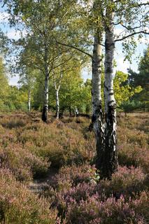 Heidelandschaft mit Birken