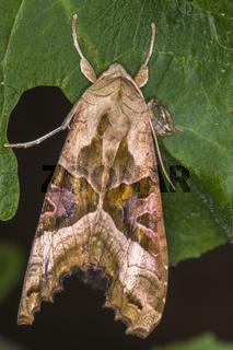 Achateule (Phlogophora meticulosa)
