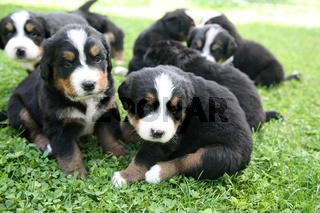 4 Wochen alte Berner Sennenhund-Welpen