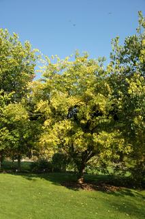 Celtis occidentalis, Westlicher Zürgelbaum, northern hackberry