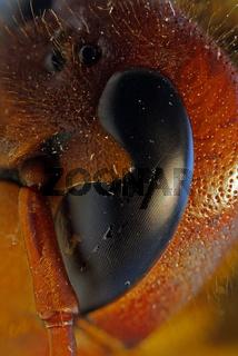 Komlexauge der Hornisse, Vespa carbro, hornet arthropod eye