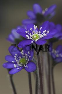 Leberbluemchen, Hepatica nobilis, violett