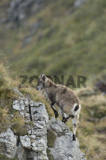 bergauf... Alpensteinbock *Capra ibex*