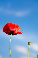 A red poppy flowering in the blue sky