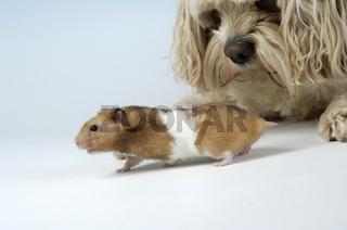 Golden hamster and Dog /  Goldhamster und Hund
