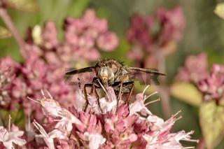 Fliege sitzt auf einer rosa Majoran Blüte