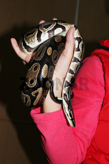 dwarf and royal python  regius sitting on his hands during the exhibition.