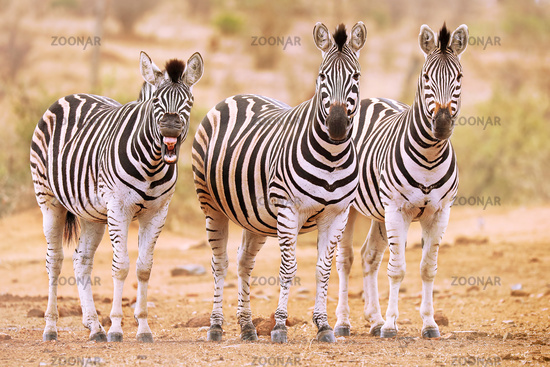 Plains Zebra, one is tired, South Africa