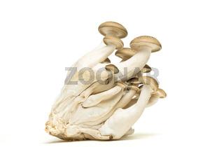 Brown beech fungi