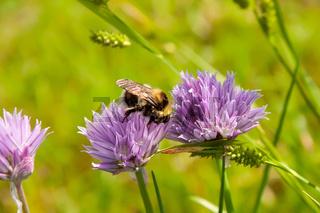 Bumblebee on a purple Flower 2