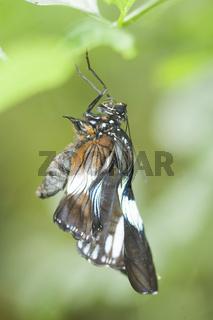 Brauner Segler (Parthenos sylvia brown) - Brown Clipper (Parthenos sylvia brown)