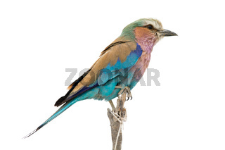 lilac breasted roller sitting on a branch, isolated on white background