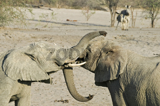 kaempfende Afrikanische Elefanten (Loxodonta africana) an Wasserloch im ausgetrockneten Flussbett des Boteti, Khumaga, Makgadikgadi Pans National Park, Botswana, Afrika, fighting African elephants at a waterhole in the dry riverbed, Africa