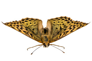 Butterfly Silver-Washed fritillary, lat. Argynnis paphia,  isolated on white background