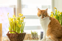 Morning sunlight on the red cat. Cute funny red-white cat on the windowsill with blossom yellow daffodils, close up.