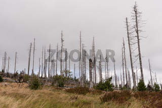 kahle Bäume nach Borkenkäferbefall - Böhmerwald