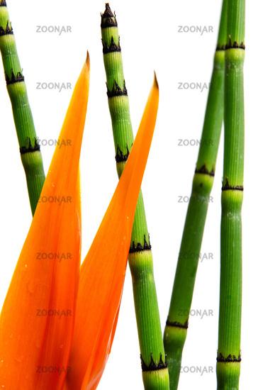 Close up of Strelitzia Reginae and reed