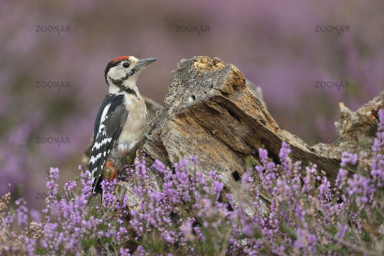 in flowering heather... Great Spotted Woodpecker *Dendrocopos major*