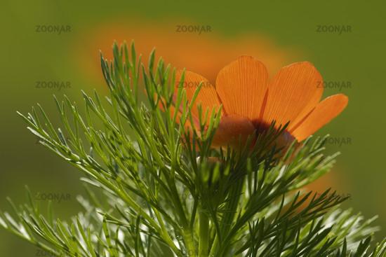 Adonis aestivalis, Summer Pheasant's Eye