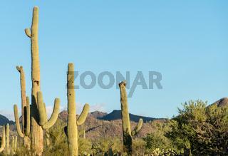 Crested Saguaro in National Park West Tucson
