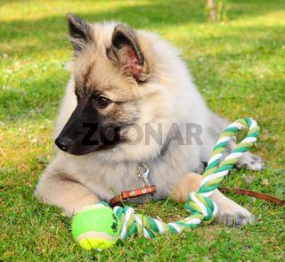 Hund spielt auf Wiese