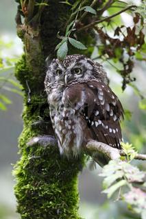 Raufusskauz, Aegolius funereus, boreal owl