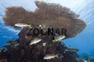 Diagonal-Suesslippen unter Tischkoralle, Plectorhinchus lineatus, Ulong Channel, Mikronesien, Palau, Diagonal-banded Sweetlips under Table Coral