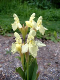 Roscoea cautleoides, Ingwerorchidee