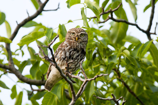 Steinkauz (Athene noctua) - Little Owl-